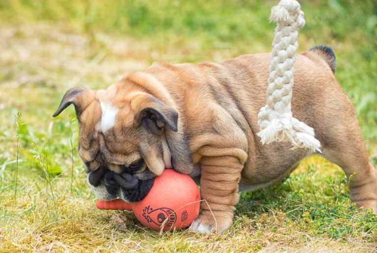 English bulldog playing with toys outdoors