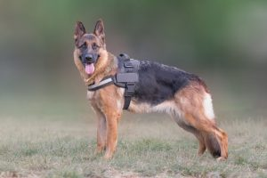 German Shepherd wearing harness outdoors