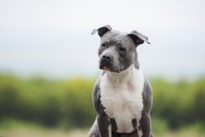 Stafforshire Terrier standing outside
