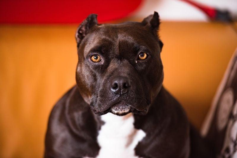 Black and white pitbull looking at the camera