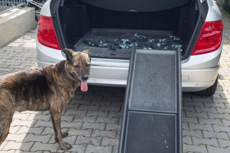 Dog standing in front of the car ramp