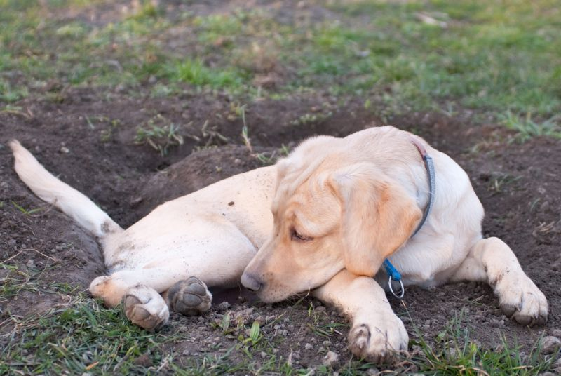 a labrador retriever puppy lying tired in the mud in front of a hole he dug before