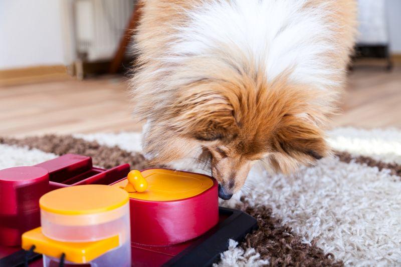 Shetland Sheepdog playing with puzzle dog toy