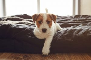 Jack Russell Terrier puppy sitting on a bed at home