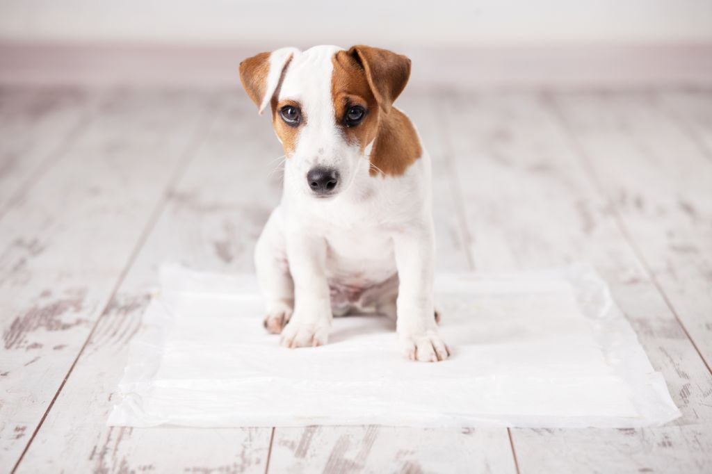 Puppy on absorbent puupy training pad.