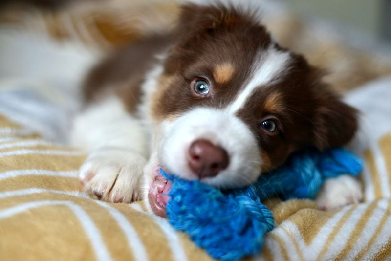 Puppy chewing rope toy