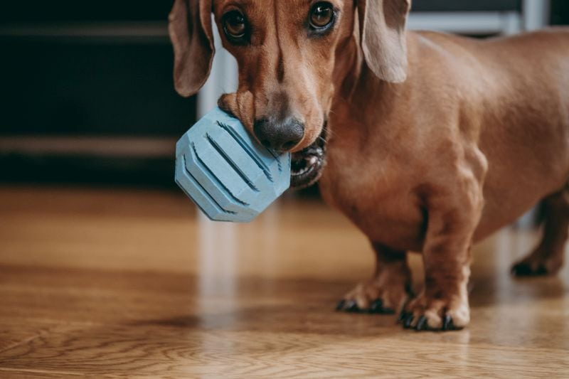 Smooth brown miniature dachshund puppy holding blue treat dispensing toy ball in his mouth
