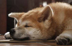 Close up on Adorbale Akita inu dog face sleeping on the floor and cooling