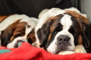 Couple of purebred st bernard dogs sleeping