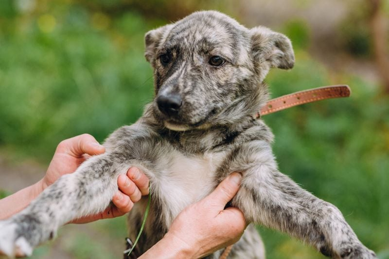 People holding cute little grey puppy with collar in hands.