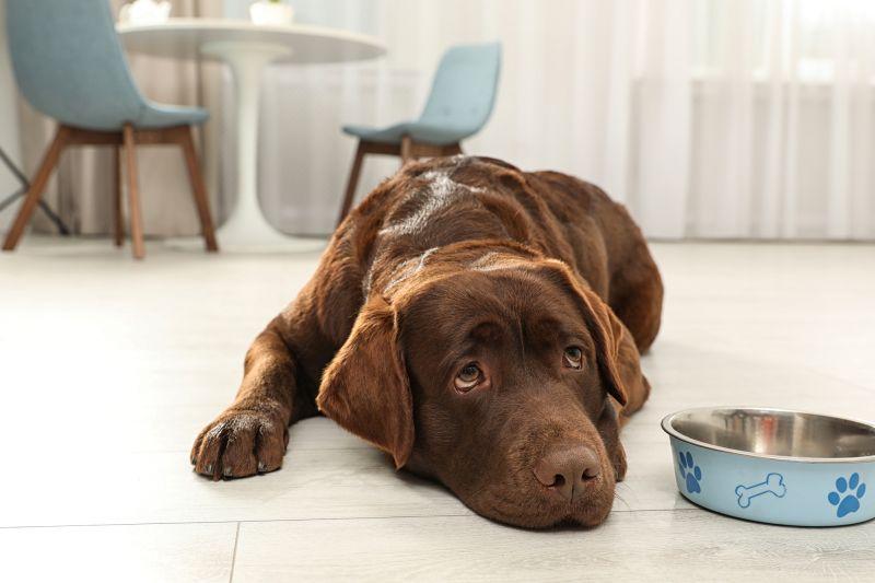 Cute friendly dog lying near feeding bowl on floor in room