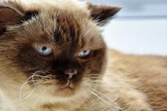 Britisch-Kurzhaar Katze (creme-farbig)