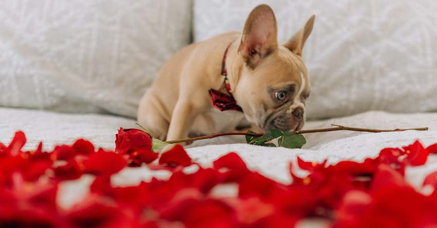 French bull dog on bed of roses