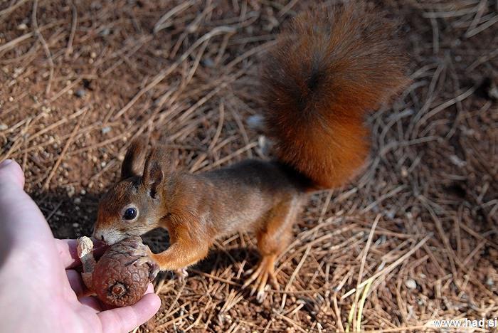 veverica-fotografije-sciurus-vulgaris-squirrel-photos-11.jpg