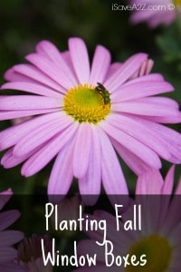 Planting Fall Window Boxes