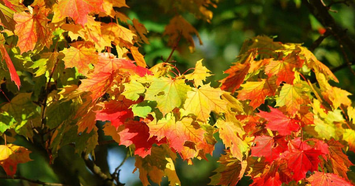 Wondering how to preserve the beauty of fall leaves so you can use them in decorating and crafts? Check out two easy ways to keep them looking stunning!
