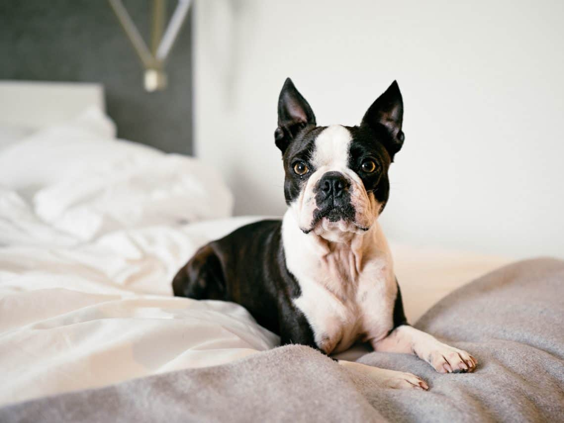 Boston Terrier laying on the bed.