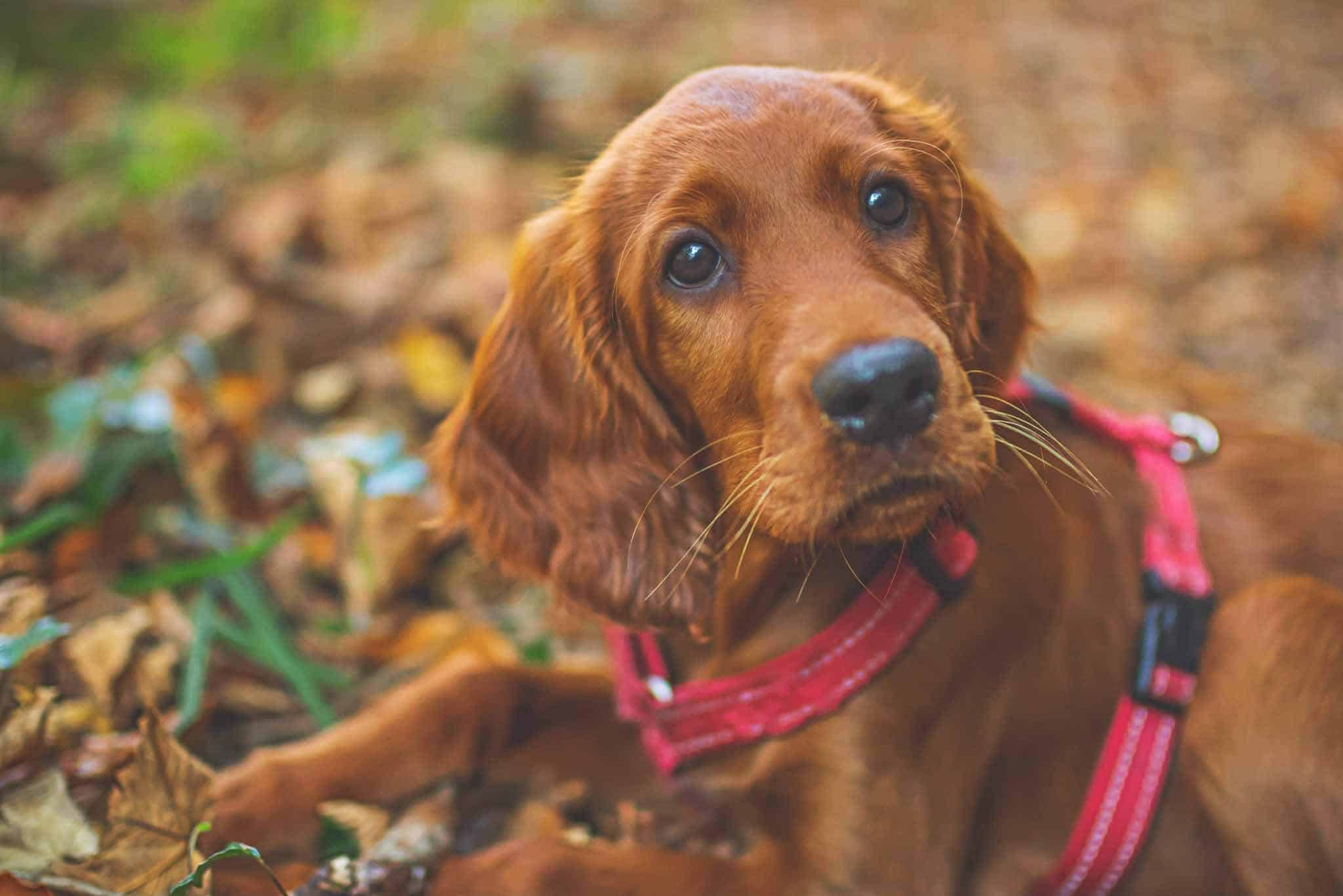 health-benefits-of-carrots-for-dogs