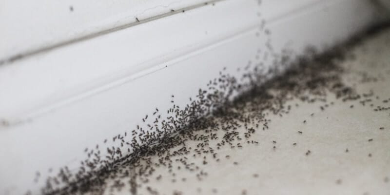 A heavy ant infestation swarms inside a home.