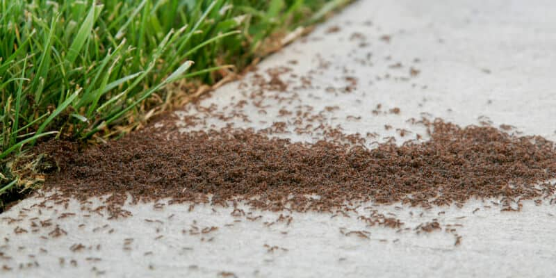 Infestation of small ants on a sidewalk next to grass
