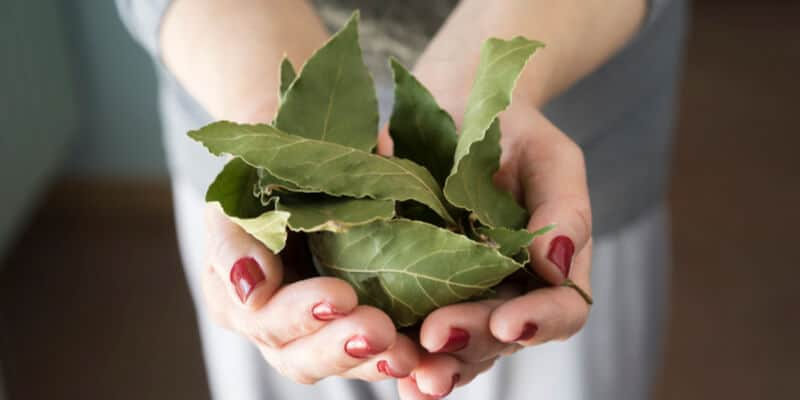 Woman holding bay leafs