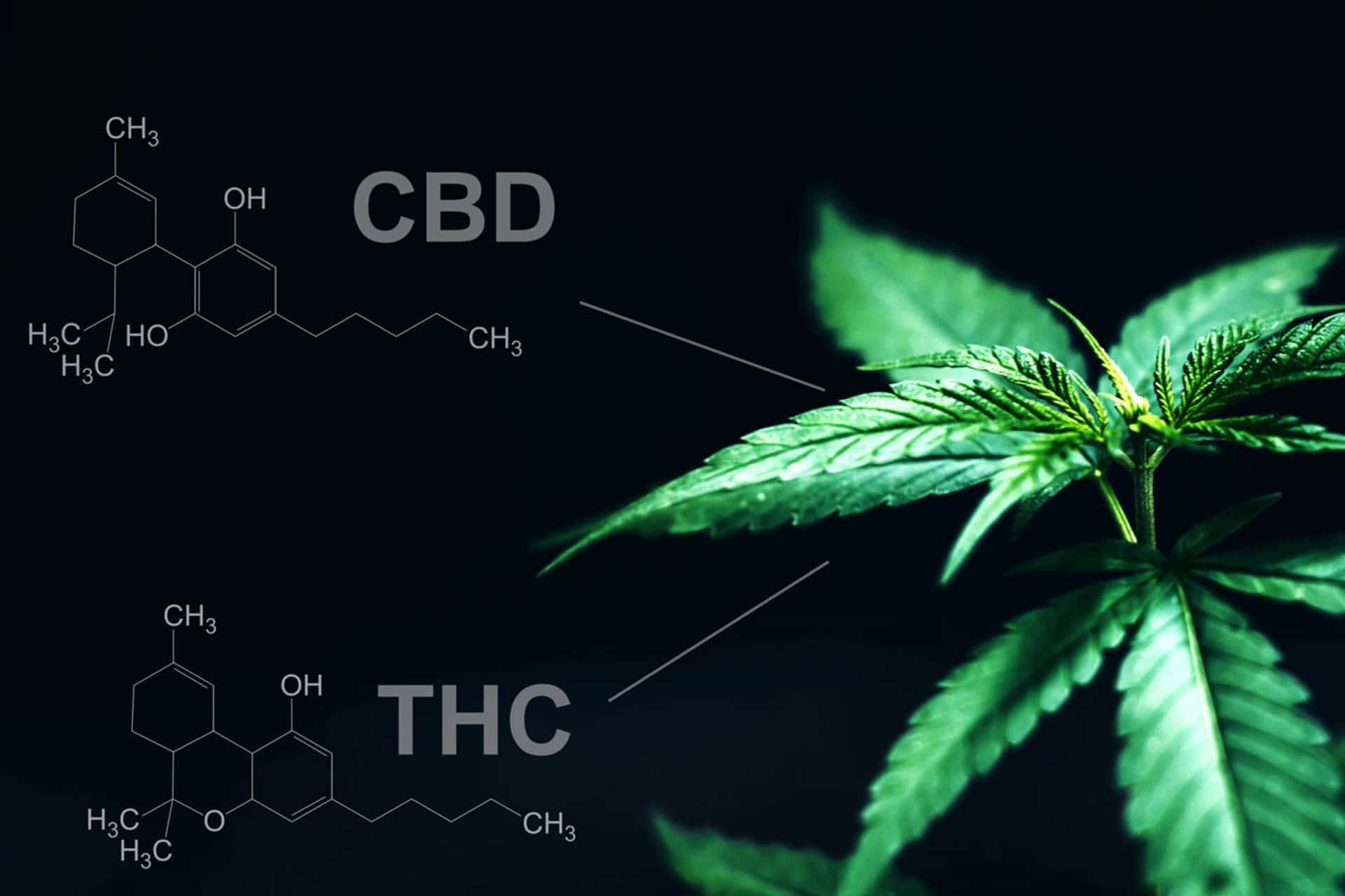 Les différences entre le CBD et le THC