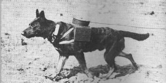 Chien telegraphe 1ere guerre mondiale