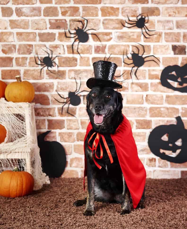 costume d'halloween pour chien