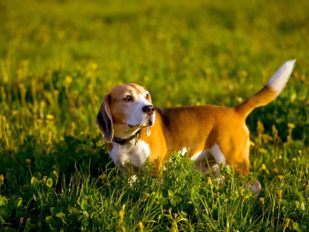 chien herbes hautes puces