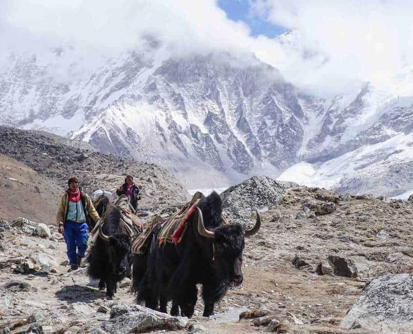 Yaks heading to Base Camp Everest