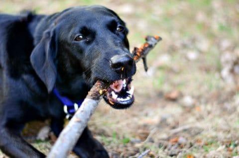 dog-chewing-on-sticks