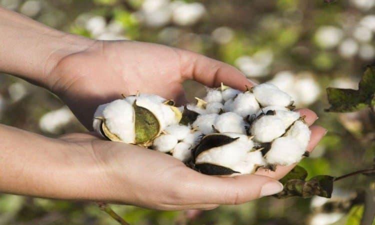 Elaboracion de algodon y plantacion