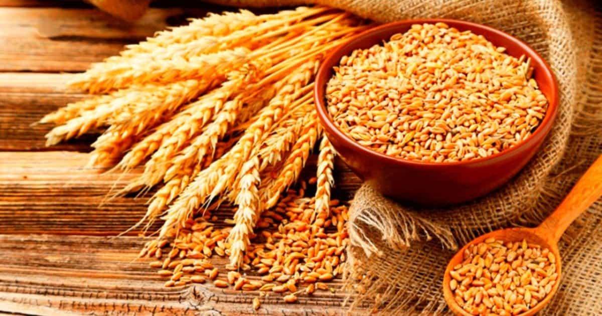 Obtencion del trigo