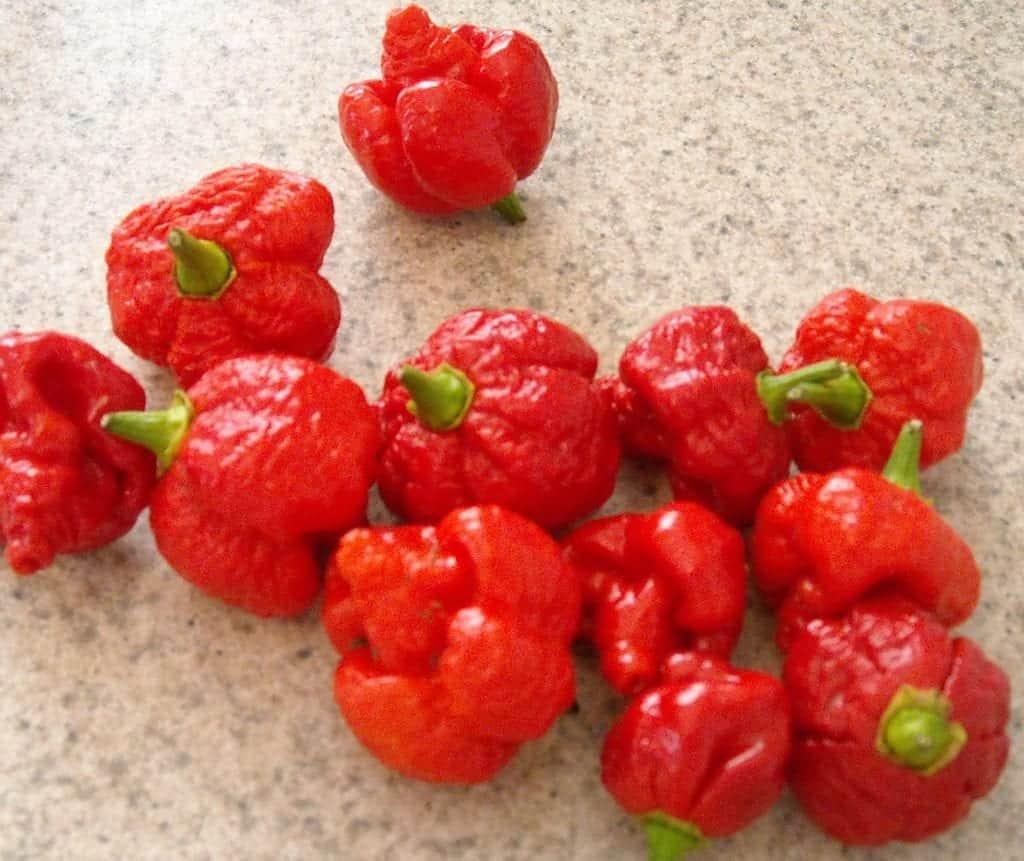 hottest pepper in Trinidad and Tobago trinidad moruga scorpions