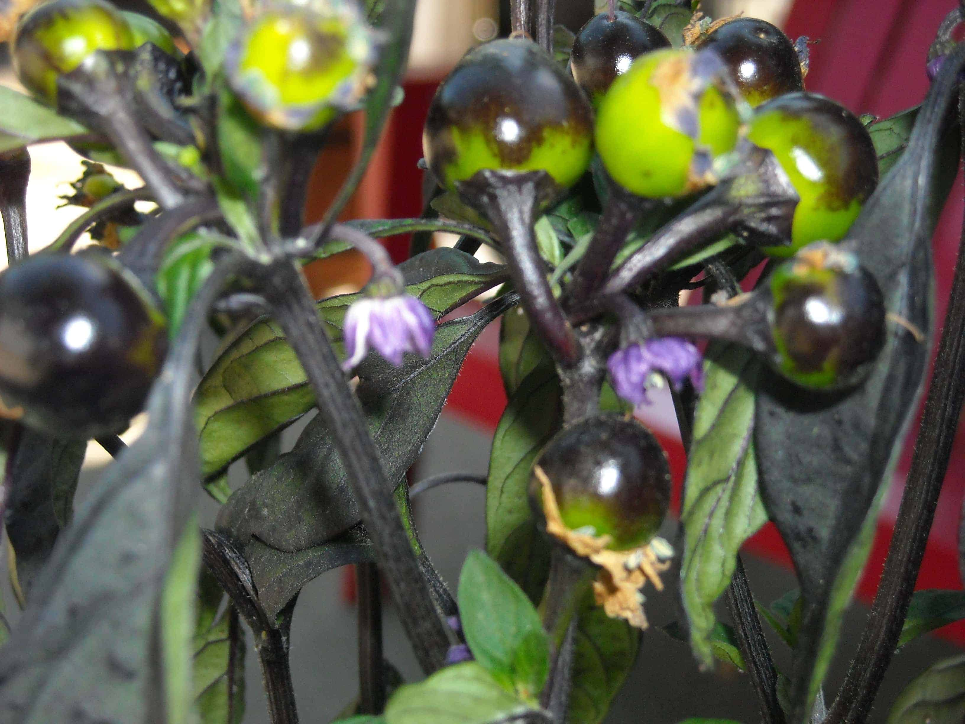Black Pearl Peppers are some of the most compact types of pepper plants