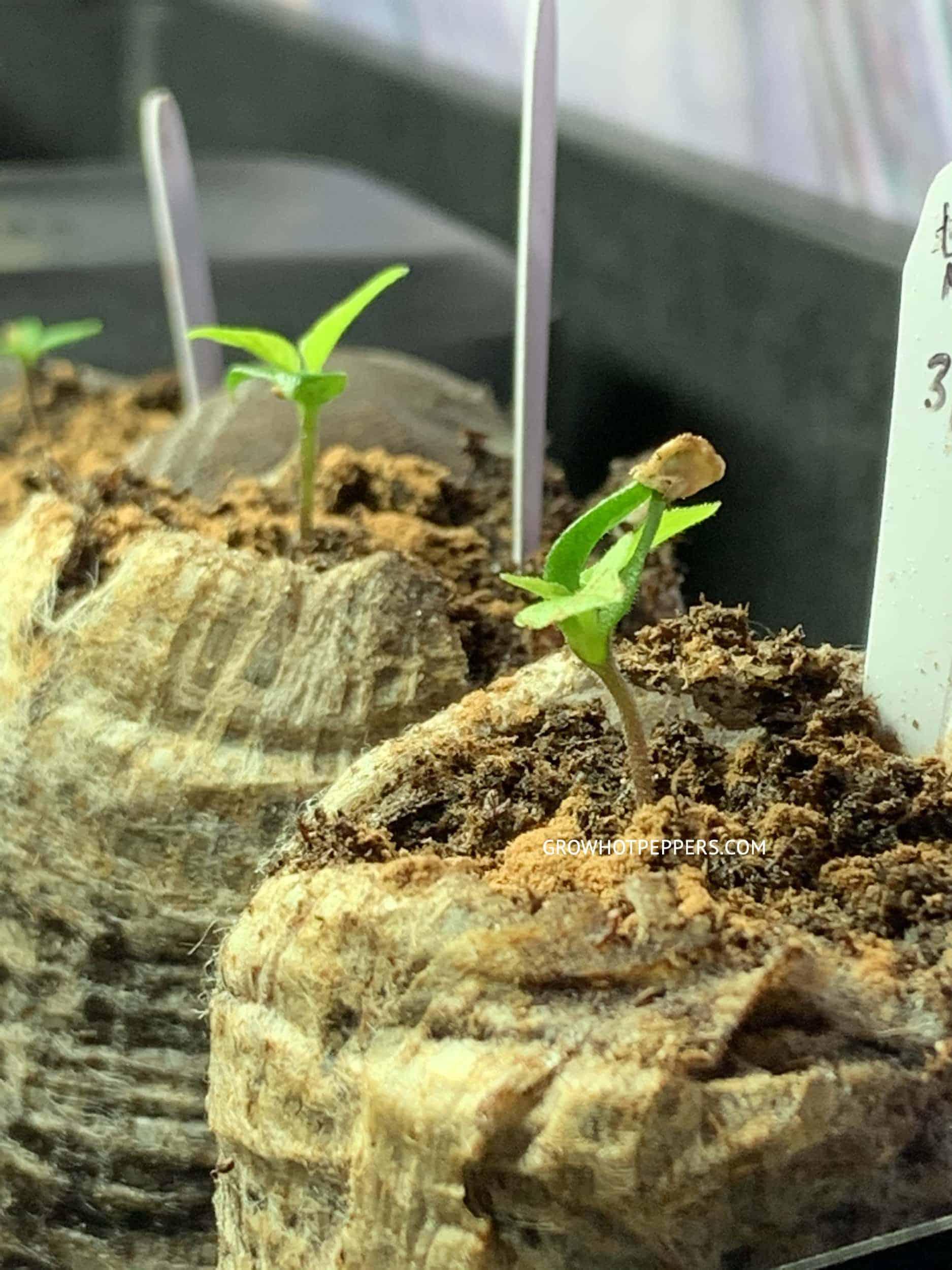 pepper seedlings in peat pots