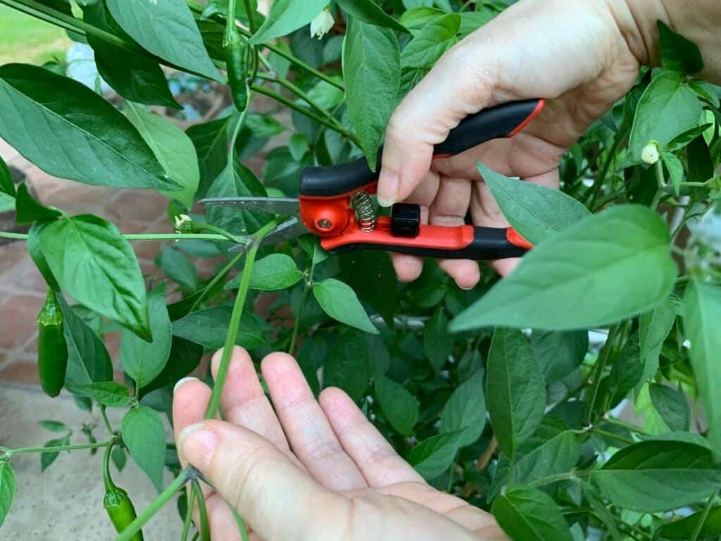 Winterizing serrano pepper plant