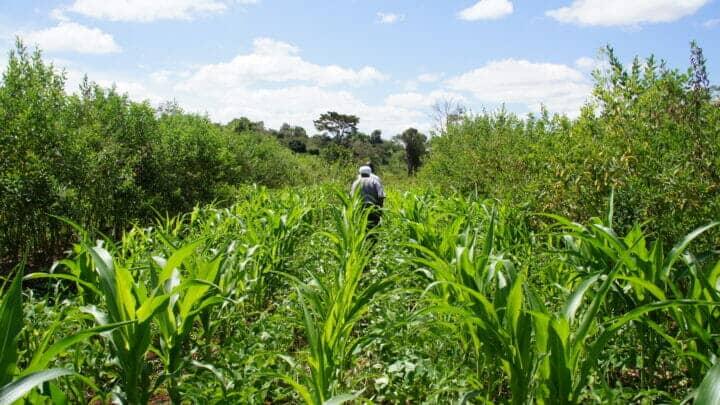 Alley cropping in Meru Kenya