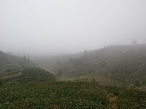 Yunnan Campos de Te de Puer 500x375 - Puer, visiting the tea fields of Yunnan