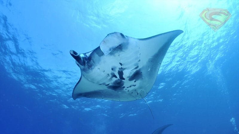 Manta Ray scuba diving Similan Islands
