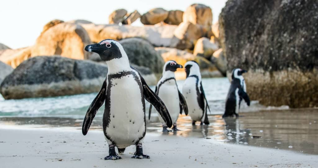 Four penguins stand on the beach by the water and boulders