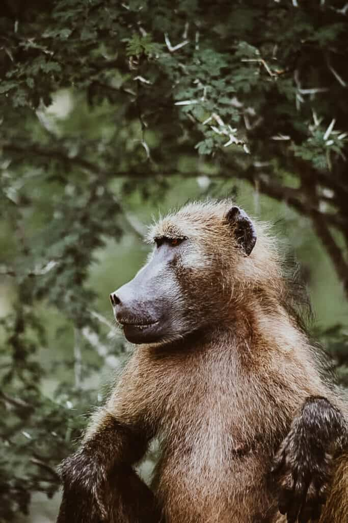 A baboon sits with his hands resting on his knees