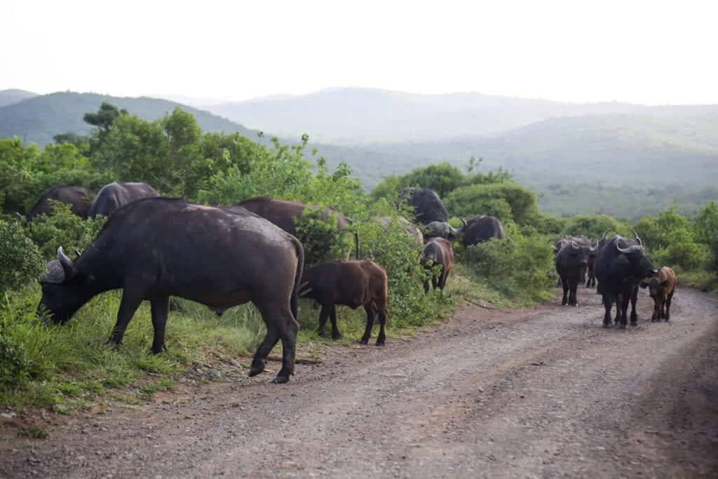 A bunch of buffalo walk down a dirt road and graze on the grass