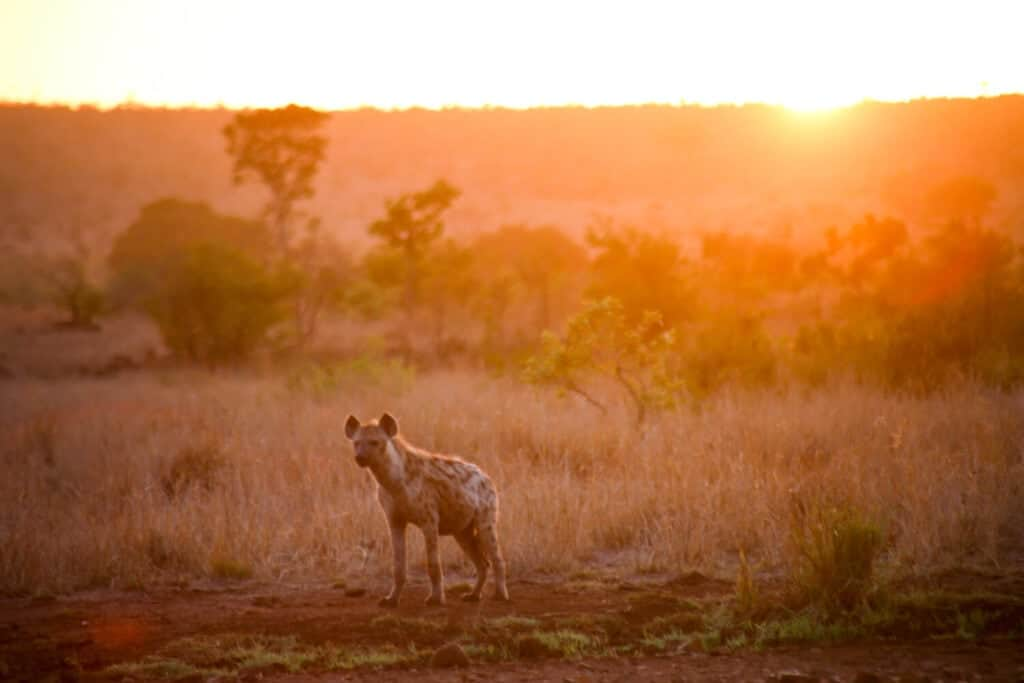 A hyena standing in the plains at sunrise