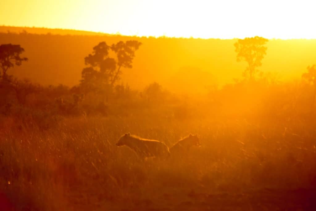Two hyena in the grass in the orange rays of the sun at sunrise