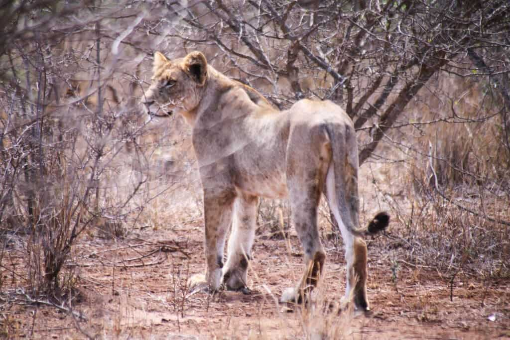 A large lion cub stands in the dry brush