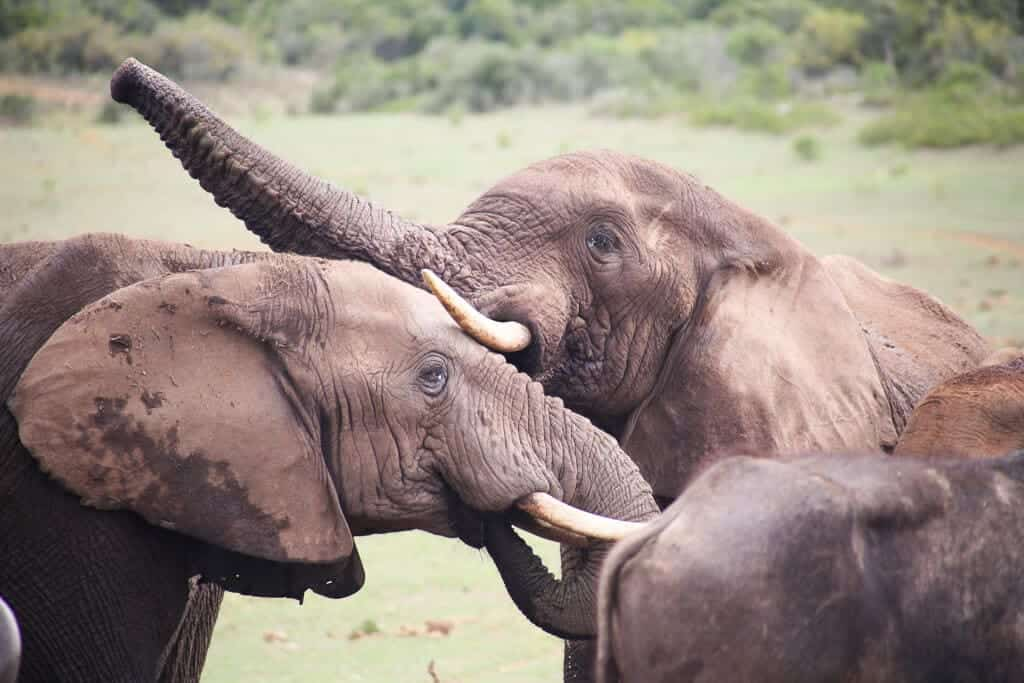 Two elephants rubbing their faces together