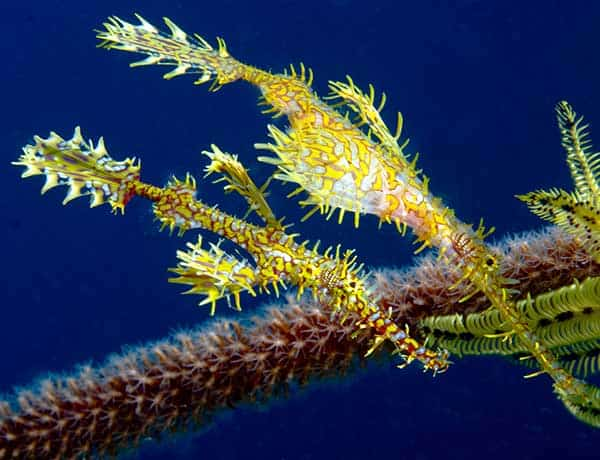 Ornate ghost pipefish Phuket diving day trips