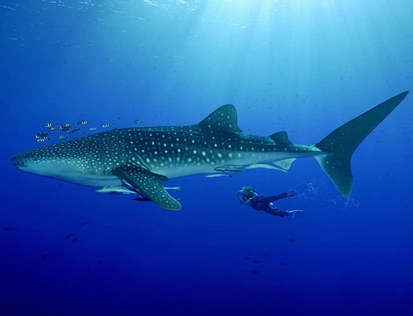 Whale shark scuba diving Phuket
