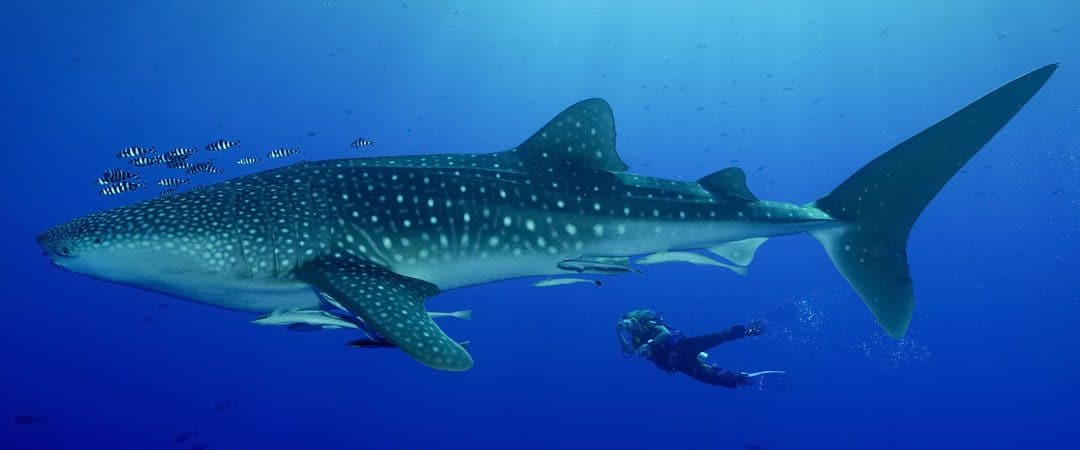 Diving with Whale Sharks in Thailand